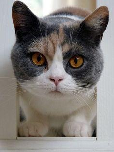 (≡•̀ ˑ̫ •́≡) #neko #cat