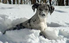 catahoula leopard dog - love that face!