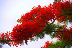Le flamboyant - Delonix regia : un arbre à floraison rouge spectaculaire. Originaire de Madagascar