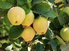 Cum îngrijim mușcatele   Paradis Verde Home Remedies, Natural Remedies, Blowing Wind, Salvia, Good To Know, Pear, Health Tips, The Cure, Flora