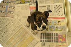 Broadway, NJ - Beagle/Boston Terrier Mix. Meet Buddy, a puppy for adoption. http://www.adoptapet.com/pet/12560476-broadway-new-jersey-beagle-mix