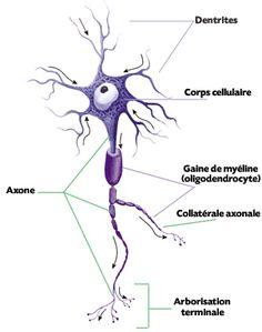 des neurones