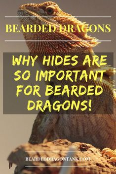 Hides in a bearded dragon tank can actually change a bearded dragon´s behavior completely. Read this article to learn more. Bearded Dragon Tank Setup, Bearded Dragon Lighting, Bearded Dragon Enclosure, Bearded Dragon Diet, Bearded Dragon Substrate, Bearded Dragon Habitat, Pet Lizards, Reptiles, Dragon Facts