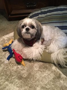 Shih Tzus, Pet Grooming, Pets, Sweet, Animals, Animais, Animales, Animaux, Animal
