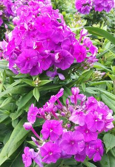 Garden Phlox 'Flame Purple' blooms in stunning magenta with fragrant flowers. Phlox can grow in a sunny border or a container and attracts pollinators like butterflies and bees. Learn more about pollinators and plants at The Home Depot's Garden Club.