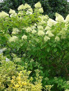 korbweide flechtweide hanfweide salix viminalis garden hedge pinterest heimisch und. Black Bedroom Furniture Sets. Home Design Ideas
