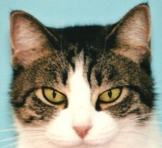 Muffin is an adoptable Domestic Short Hair Cat in Forked River, NJ.  Muffin- 5 years old. She is very friendly and good with cats and kids.  If interested please visit our Forked River Shelter. We are...