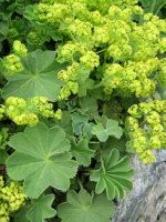 Alchemilla / Lady's Mantle: plant guide for shaded woodland