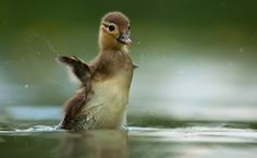"""budgberry: """" beautiful-wildlife: """" Mandarin Duck by Robert Adamec """" Your wings have not yet grown to size, little one. Cute Photography, Animal Photography, Beautiful Birds, Animals Beautiful, Beautiful Creatures, Beautiful Things, Cute Ducklings, Mandarin Duck, Baby Ducks"""