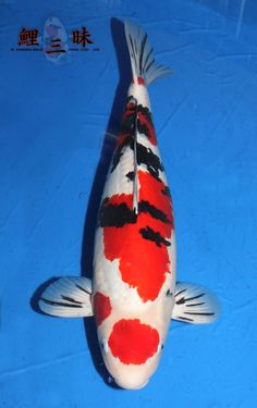 Awesome markings on the pectoral fins!