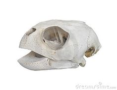 Sea turtle Skull - Google 検索