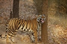 A tiger tour is exciting and rewarding. But it is one of the most elusive animal on Earth.  How to discover the big cat find out here....