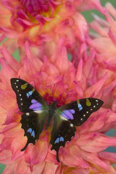 Purple Swallowtail Butterfly (Graphium weiskei) by Danita Delimont