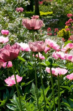 mauve poppies among pink peonies