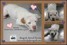 Prayers answered on this sweet mama and pup! Rescued together this afternoon. Precious and happy ending for these two!!!!! Yay!! 27691718 **OFF HOLD!** Female Terrier, Pit Bull/Mix 3 years 27691731 Male Terrier, Pit Bull/Mix 3 months 27691743 Male Terrier, Pit Bull/Mix 3 months ‪#‎adoptabledog‬ ‪#‎adoptapet‬ ‪#‎petadoption‬ ‪#‎Mesquite‬ TX ‪#‎Rescue‬‪#‎RescuedIsMyFavoriteBreed‬ ‪#‎adoptdontshop‬ ‪#‎dontshopadopt‬  MESQUITE ANIMAL SERVICES   1650 Gross Rd   Mesquite, TX 75149   972-216-6283 …
