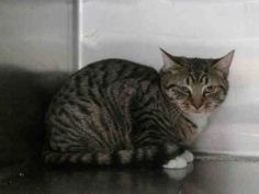 Baby KILLED at ACC! TO BE DESTROYED 2/13/15  ADORABLE 8 MO OLD! * Brooklyn Center * Client found stray kitten in his yard.. Client states it takes time to approach kitten. Client also stated kitten appears to get along with others cats in the yard. Kitten likes to play with his siblings. During intake: Kitten appears to be nervous. Kitten allowed minimal handling. *   My name is SYMPHONY. ID # is A1027478. Male brn tabby and white dom sh mix 8 MOS OLD.  STRAY on 02/08/2015, Litter…