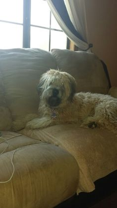 9 month old wheaten terrier