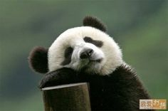adorable panda memes - Google Search