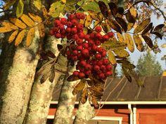 Finland, Autumn, Fruit, Fall Season, Fall