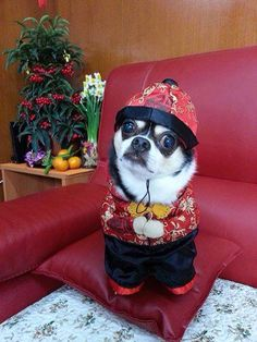 A cute little Chinese chi!