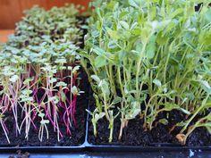 Faire ses propres germinations et pousses