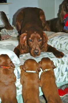 Opie ~ Irish Setter & Her Pups ~ Classic Look & Trim