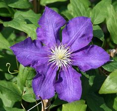 "Lady Betty Balfour Clematis Vine - Potted - Magestic - 2.5"""" Pot"
