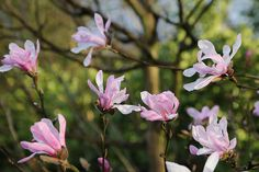 Magnolia stellata 8216Rosea8217 flowers dance in the early evening by Four Seasons Garden via Flickr