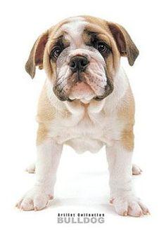 english bulldog puppies for sale: http://forums.adobe.com/people/larisazimickiha