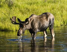 Two groups of moose (12 each year) from the Uintah Mountains and Grand Teton herds were transferred to an area just west of the Never Summer Range near Rand, Colorado. Description from richwolf.wordpress.com. I searched for this on bing.com/images