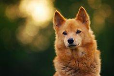 The finnishspitz Våtsjöbergets Milla Spitz Dog Breeds, Spitz Dogs, Cute Dogs Breeds, Beautiful Dogs, Animals Beautiful, Cute Baby Animals, Animals And Pets, Wild Dogs, Hunting Dogs