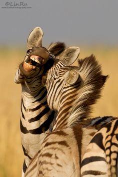 "Africa | ""Zebra Play"" Rietvlei Nature Reserve, South Africa | © Rudi van den Heever - LinRu Photography"