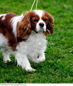 Google Image Result for http://www.visualphotos.com/photo/2x5374915/beautiful_Cavalier_King_Charles_Spaniel_dog_posing_432325.jpg