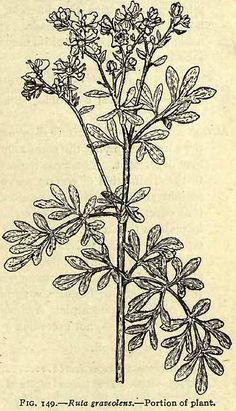 Fig. 149. Ruta graveolens.   Henriette's Herbal Homepage