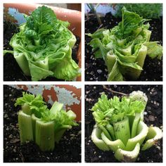 Replanting romaine lettuce and celery. This is a few days of growth.