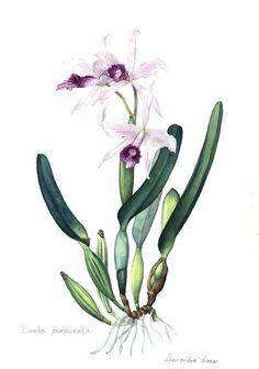 orquideas ilustrações - Pesquisa Google