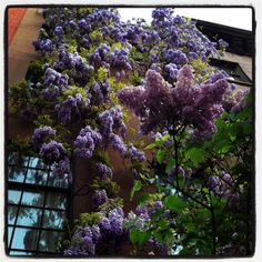 i want a lilac bush in my yard. reminds me of growing up. heavenly scent.    http://images.thesartorialist.com/thumbnails/2012/05/photo.jpg