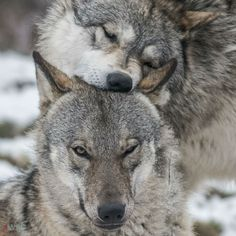"wolfscience: ""Maikan and Etu, almost two years now. Pics by Rooobert Bayer """