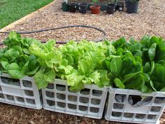Lettuce growing in crates