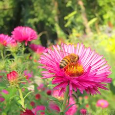 Plant Profile: New England Aster   from http://network-green.org