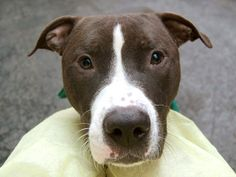 TO BE DESTROYED 5/21/14 Manhattan Center -P   My name is LUCKY. My Animal ID # is A0999760. I am a neutered male black and white pit bull mix. The shelter thinks I am about 1 YEAR 6 MONTHS old.  I came in the shelter as a STRAY on 05/14/2014 from NY 11208, owner surrender reason stated was STRAY.