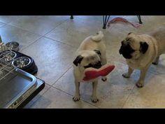 Pugs Love Bananas