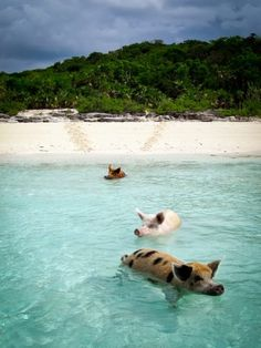 pig island, bahamas if pigs really do swim around all day in the ocean I have to go