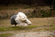 Speed demon Old English Sheepdog.