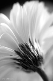black and white photo of gerbera flower
