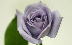 The world's first blue roses have been unveiled following nearly two decades of scientific research.