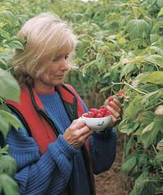 How to grow raspberries - these tips apply for blackberries too.  Can't wait for fruit later this summer!