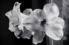 Amaryllis Near The Window By Irina Safonova Photograph - Amaryllis Near The Window by Irina Safonova#IrinaSafonova#Works #FineArtPhotography #HomeDecor#IrinaSafonovaFineArtPhotography #ArtForHome #FineArtPrints #HomeDecor#Flora#Flower
