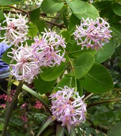 Pom-Pom Tree (Dais cotinifolia); Tree to 12'/4m that can be pruned to be a bushy shrub. Intensely fragrant flowers.