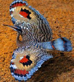 Sunbittern The sunbittern (Eurypyga helias) is a bittern-like bird of tropical regions of the Americas